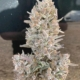 CBG Flower - 15% CBG Hemp Flower ND THC (Copy)